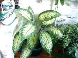 large leaf plants leafed house plant leaves o homes big green