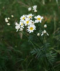 Straußblütige Wucherblume – Wikipedia