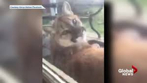 large cougar captured on relaxing outside b c home watch news s