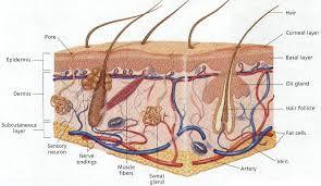 """Човешката кожа Реферат от Биология В рамките на епидермиса клетките се развиват и растат в определен порядък Образуваните в базалния слой нови клетки """"избутват"""" старите към външния слой"""