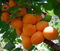 GooglePolurMazandaranIran  TREES FLOWERS PLANTS AND FRUITS Iranian Fruit Trees
