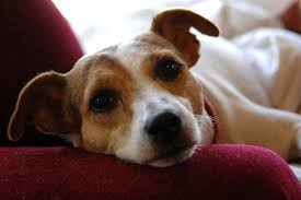 Travel Dangers in Jack Russell Dogs