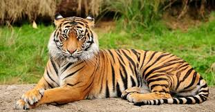 images of tigers. Delighful Tigers Tiger Facts Intended Images Of Tigers E