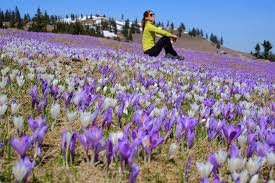 Welcome Purple When Velika Planina Dresses In Purple Welcome To Endless