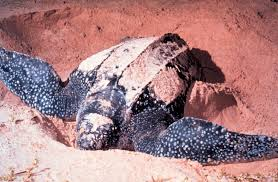 เต่ามะเฟือง - วิกิพีเดีย