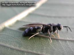 Small Black Flying Bugs In Bedroom Beneficial Insects In The Landscape 51 Black Soldier Fly