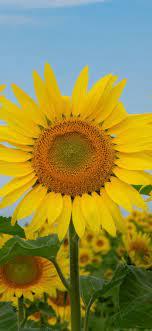 Sunflower iPhone Wallpapers - Wallpaper ...