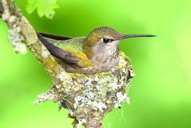 Fascinating Hummingbird Facts Old Farmers Almanac