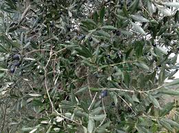 Olives To Olive Oil  Hobby FarmsWild Olive Tree Fruit
