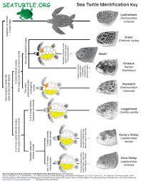 Sea Turtle Identification Key