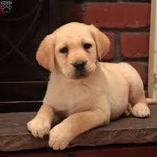 english yellow lab puppies. Contemporary Yellow MarleyEnglish Lab Yellow Labrador Retriever Puppy On English Lab Puppies L
