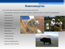 Презентация по географии на тему Животноводство России класс  Животноводство В составе животноводства России несколько отраслей скотоводс
