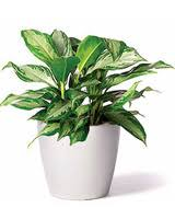 small office plant. Aglaonema Silver Bay Small Office Plant L