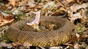 Your Guide To The Six Venomous Snakes In The Carolinas