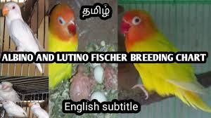 Albino And Lutino Fischer Breeding Chart And Tips In Tamil