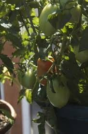 Tips For Growing Roma Tomatoes Gardening Know How