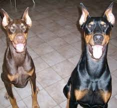 Doberman Weight Chart Doberman Pinscher Dog Breed Information And Pictures