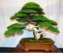 office bonsai tree. Exellent Bonsai 50 Juniper Bonsai Tree Potted Flowers Office Purify The Air Absorb  Harmfu On Office Bonsai Tree