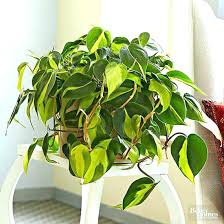low maintenance office plants. Office Plants Low Light Maintenance For Philodendron Small No Natural I