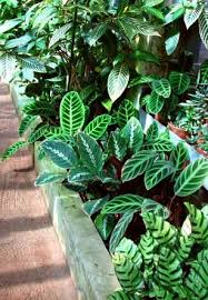 For Calathea to thrive as house plants, high humidity, temperatures and  lots of water
