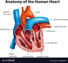Cardiac Anatomy Chart Human Heart Anatomy