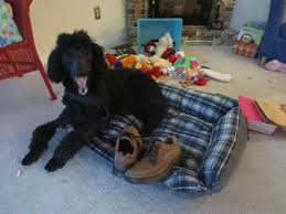 Image result for poodle milo on the bed
