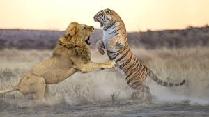Lion VS Tiger - Who will win in a fight ? - YouTube