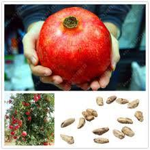 Pomegranate Tree  Pomegranates Pomegranate Seeds And Pomegranate Non Gmo Fruit Trees For Sale
