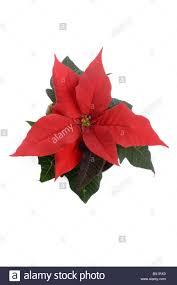 Weihnachtsstern Blume Ausschnitt Auf Weiß Stockfoto Bild