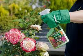 Cómo Cuidar Los Rosales En Verano  CanalHOGARCuidados De Los Rosales