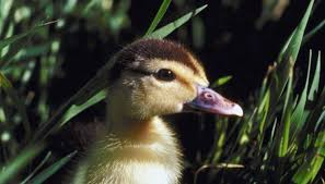 How To Care For A Newborn Duckling Animals Mom Me