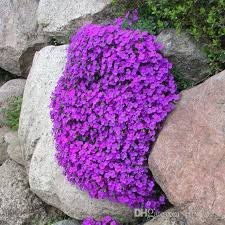 rock cress flower seeds aubrietia flower seeds large flowered easy to grow flower