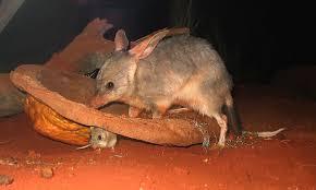 Bilby, Marsupial Asli Australia Bertelinga Panjang Seperti Kelinci - Semua  Halaman - Bobo