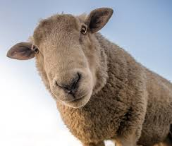 Sheep Wormer Guide Best Drenches For Worming Sheep