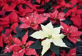 Weihnachtsstern Euphorbia Pulcherrima Pflege Vermehrung