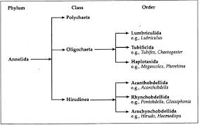 Phylum Annelida Habitat Features And Classification