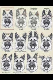 Gsd Ear Chart Neat German Shepherd Ears German