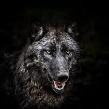 狼のスマホ壁紙 検索結果 1 画像数1288枚 壁紙com