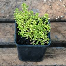 Herb Plant Identification Chart Herb Identification Identifying Fresh Herbs