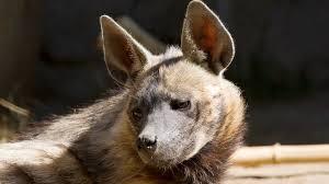 Striped Hyena San Diego Zoo Animals Plants