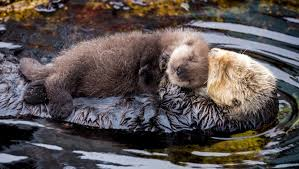 Decoding the sea otter genome – Conservation & Science