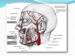 arteries of the face blood supply of face 31 638 jpg cb 1396261808