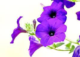 Purple Flowers Backgrounds Light Purple Flower Background Best Background Images Hd