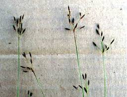 Fimbristylis autumnalis - Online Virtual Flora of Wisconsin
