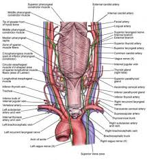 Thyroid Anatomy Complications Of Thyroid Surgery Practice Essentials