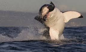 great white shark jumping for seal. Wonderful Seal June 2017 Shark Bytes Throughout Great White Jumping For Seal