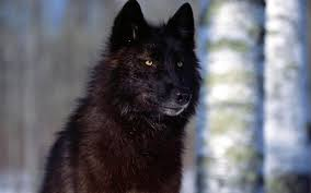 Hd Black Wolf 4k Images For Pc