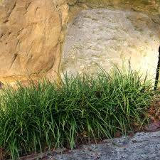 mondo grass a tuffed grass ideal for