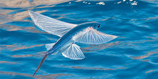 Samoan Fish Chart Flying Fish National Wildlife Federation