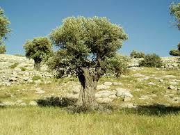Image result for olives
